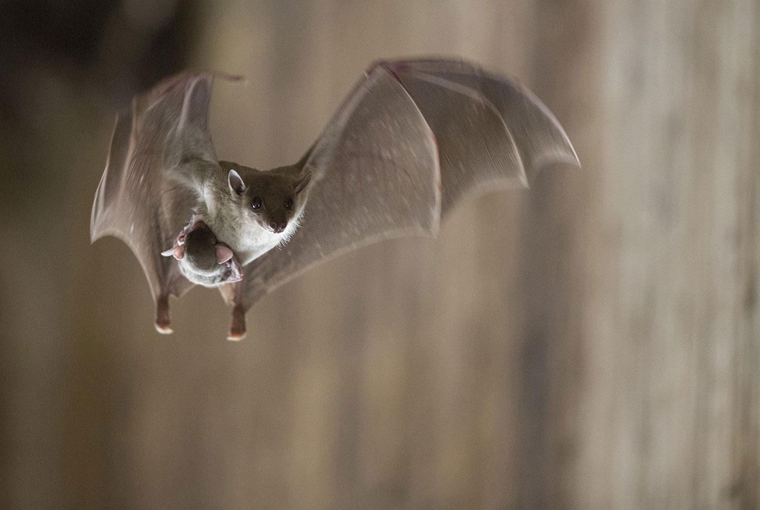 Летучая мышь с детенышем