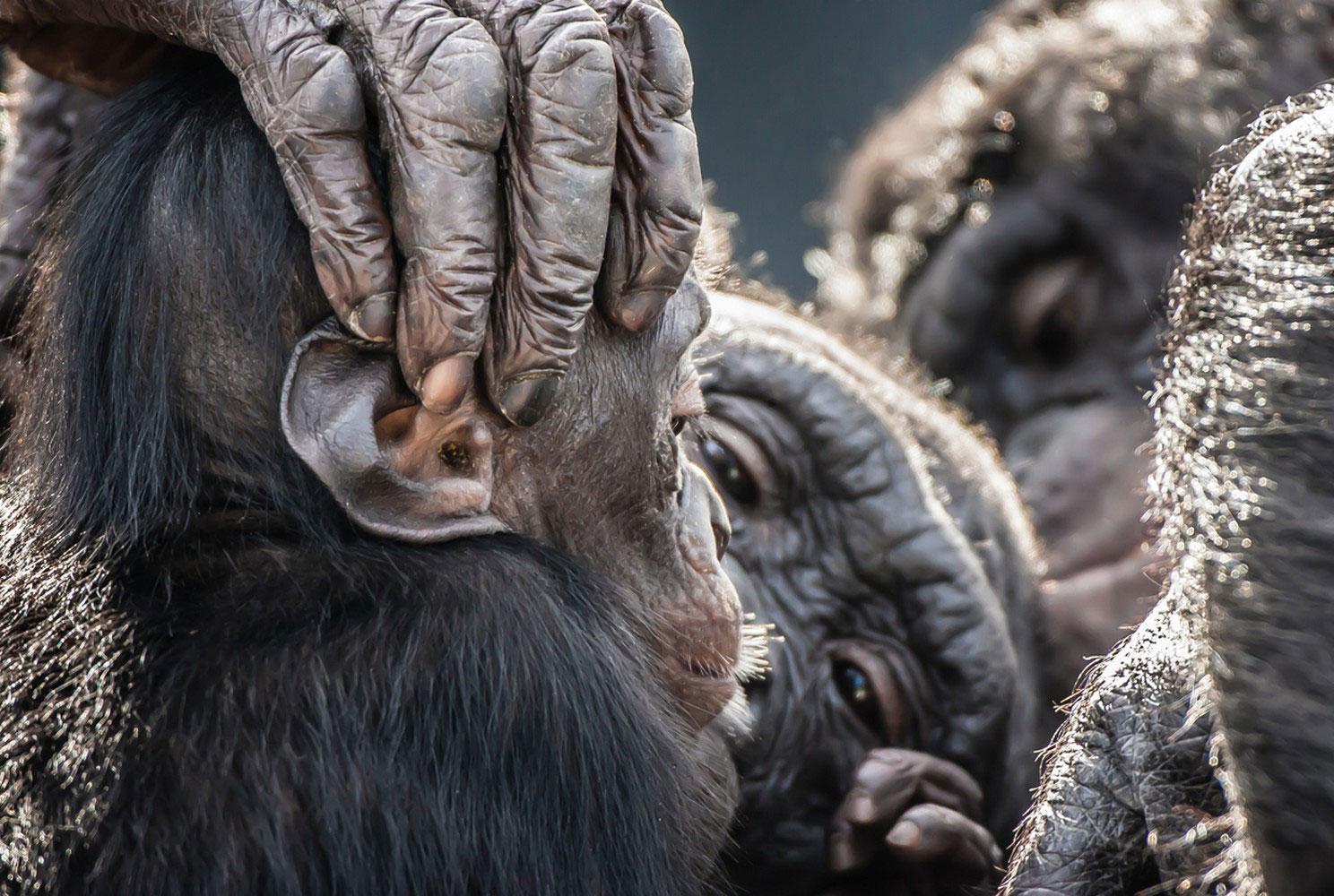 Бонобо карликовый шимпанзе