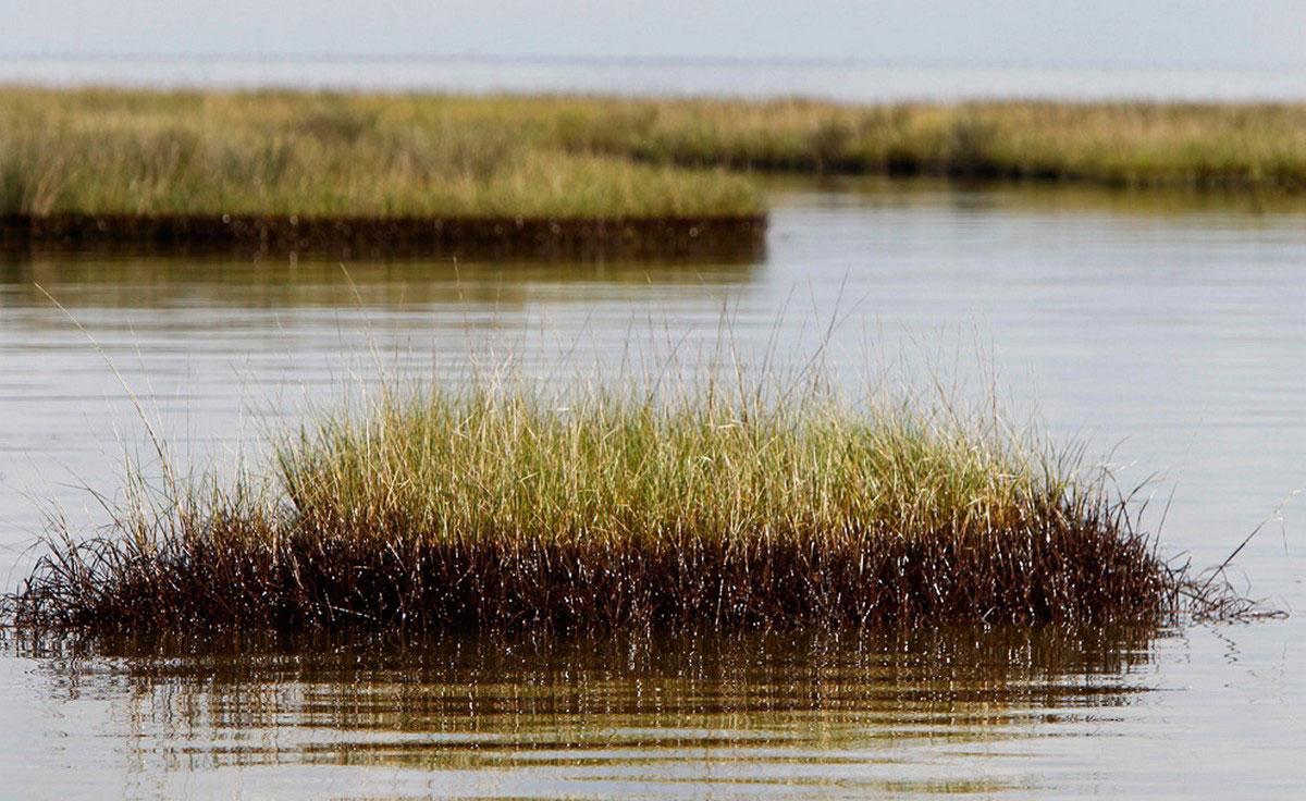 болотная трава