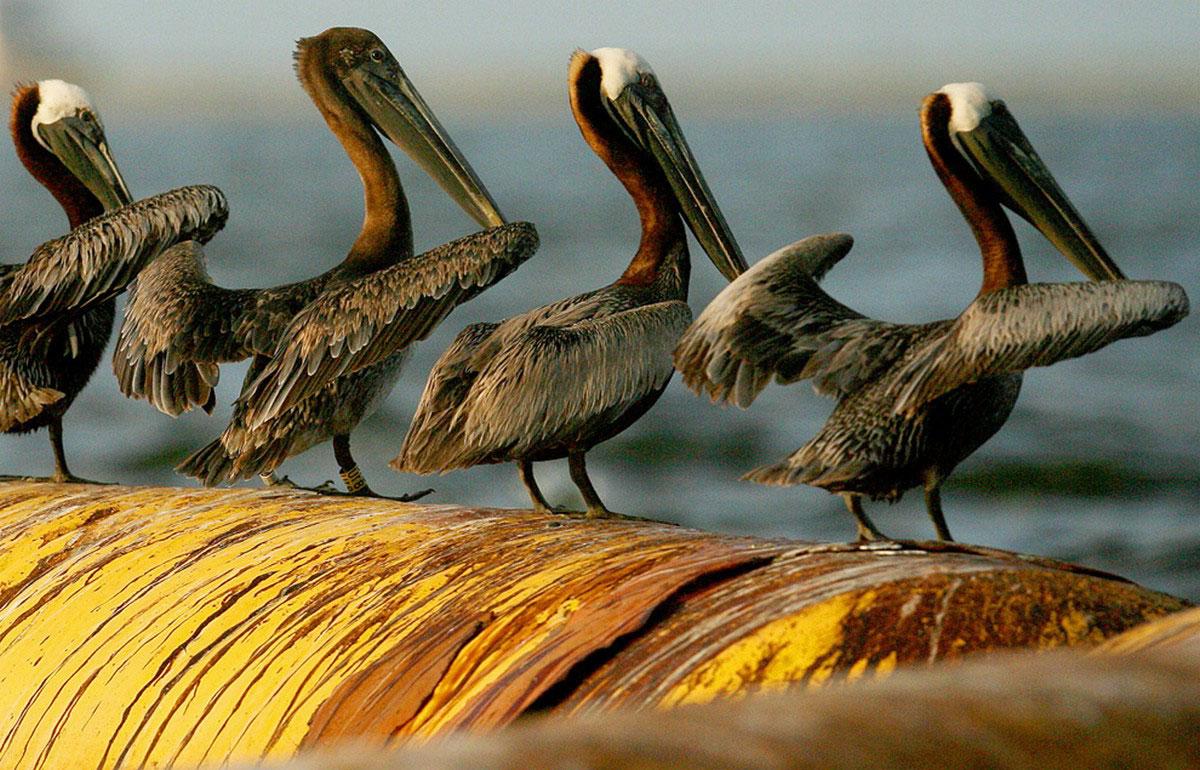 Испачканные в нефти пеликаны
