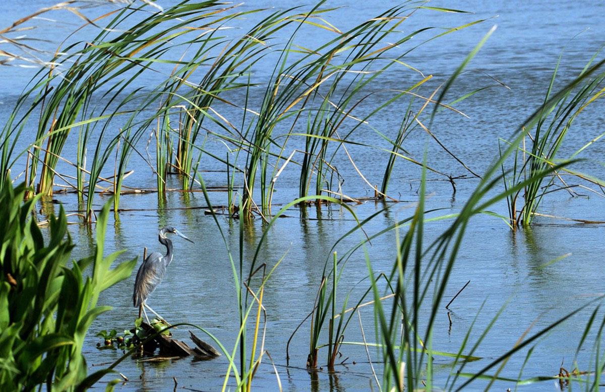 Цапля в болоте