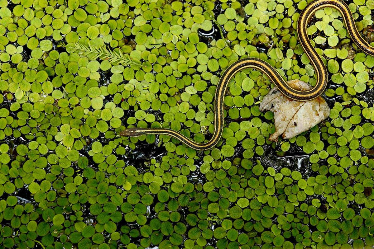 Змея в болоте