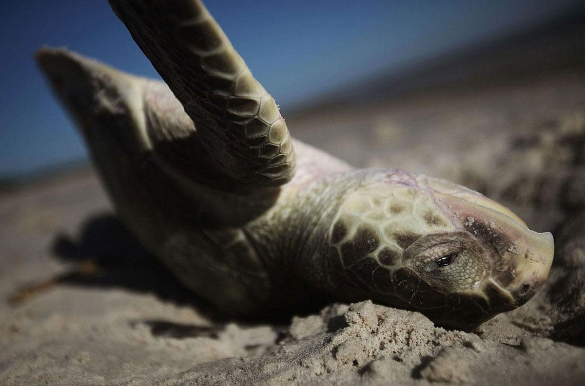 Мертвая морская черепаха