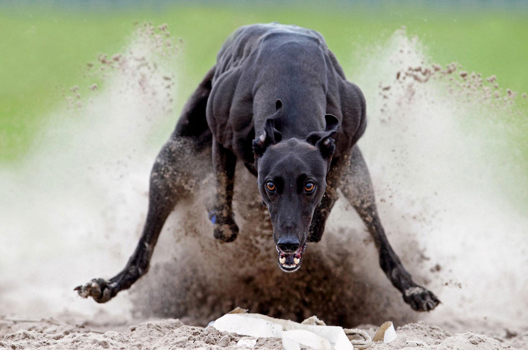 бег собаки, фотоконкурс