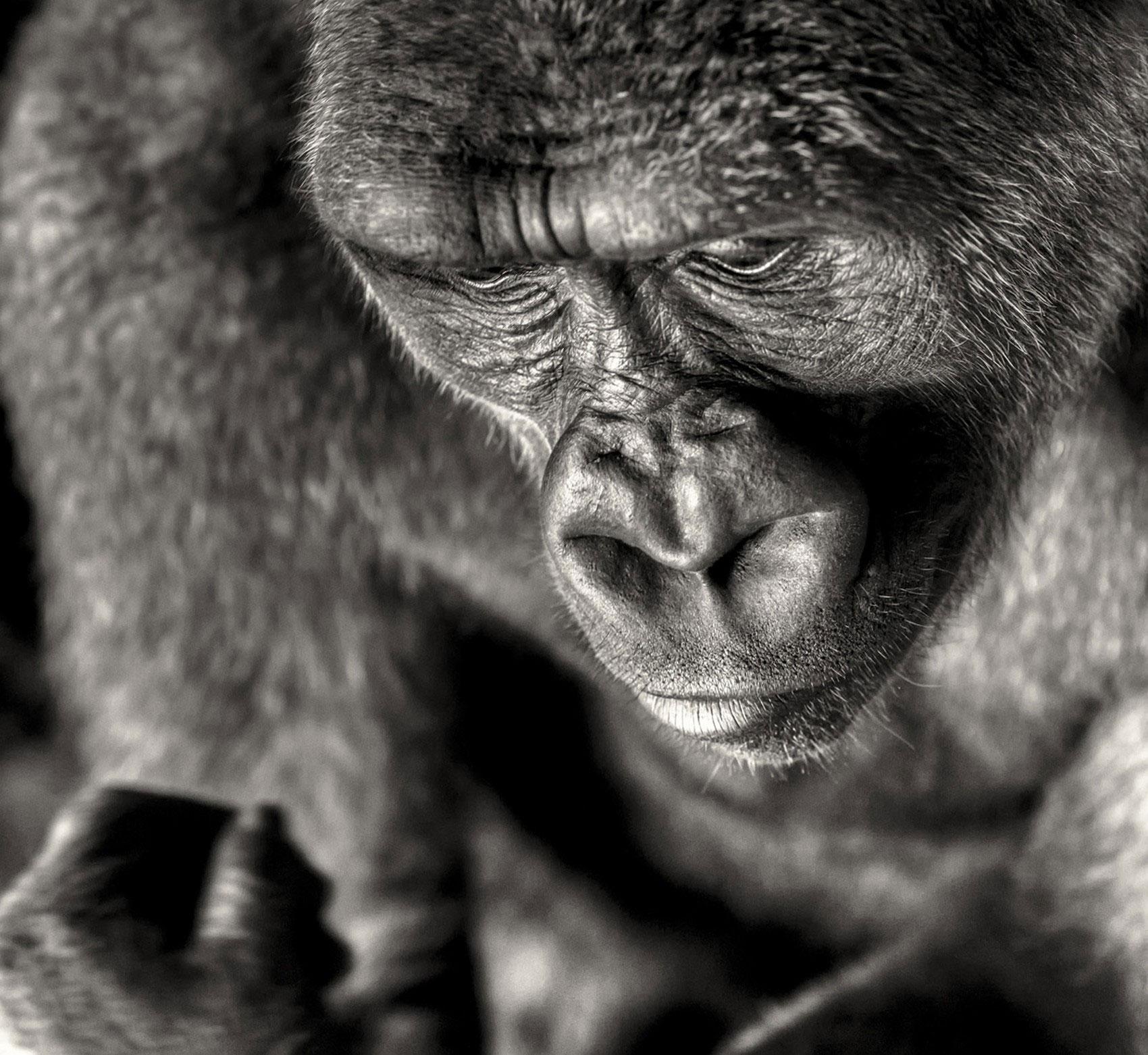 Читающая горилла