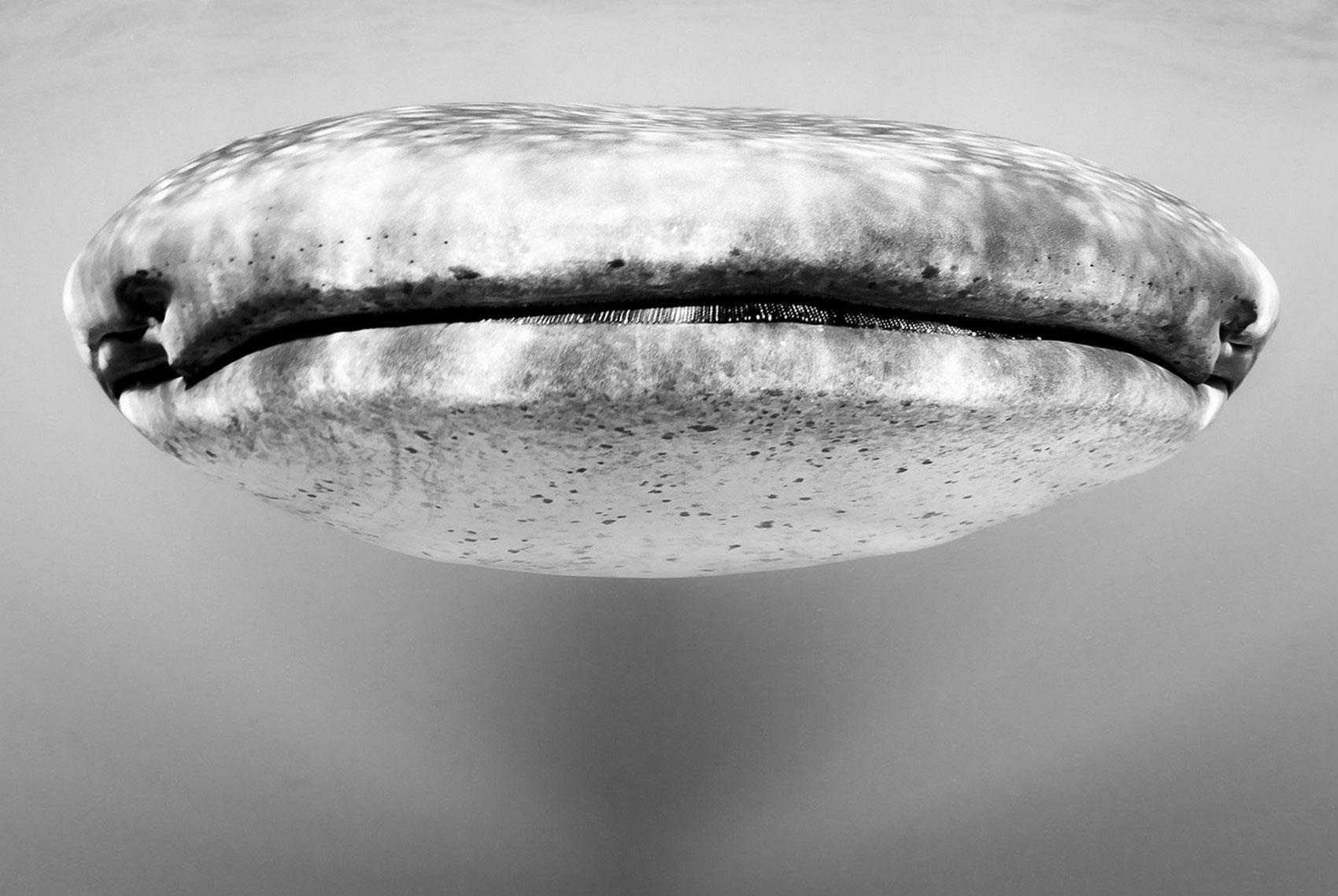 китовая акула, фотоконкурс