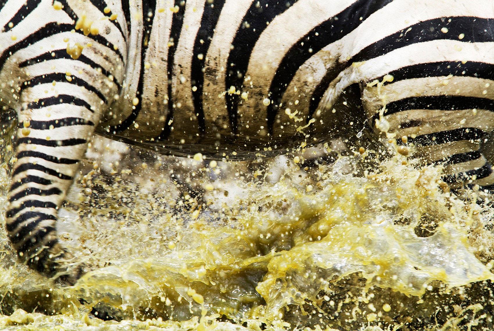 Зебра бежит по воде