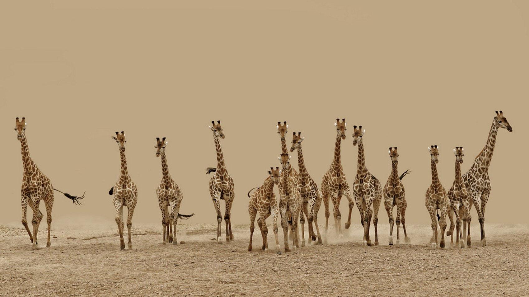 стадо жирафов, фотоконкурс