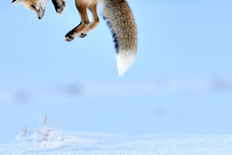 охота лисы на грызунов в снегу, фото