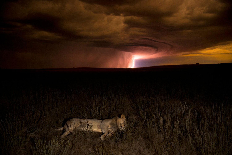 лев отдыхает после сытного ужина, фото