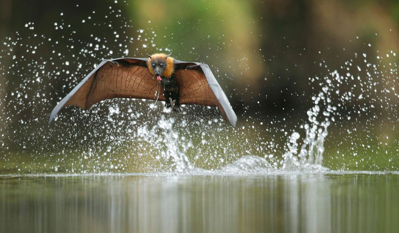 летучая мышь в полете, фото