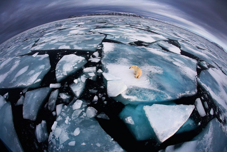 дикий белый медведь на полярном архипелага, фото