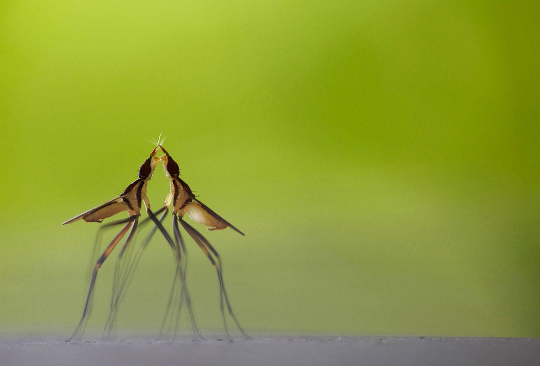 конкуренция за самку у мух, фото