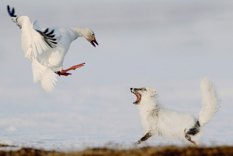 песец охотится на яйца гусей, фото дикой природы
