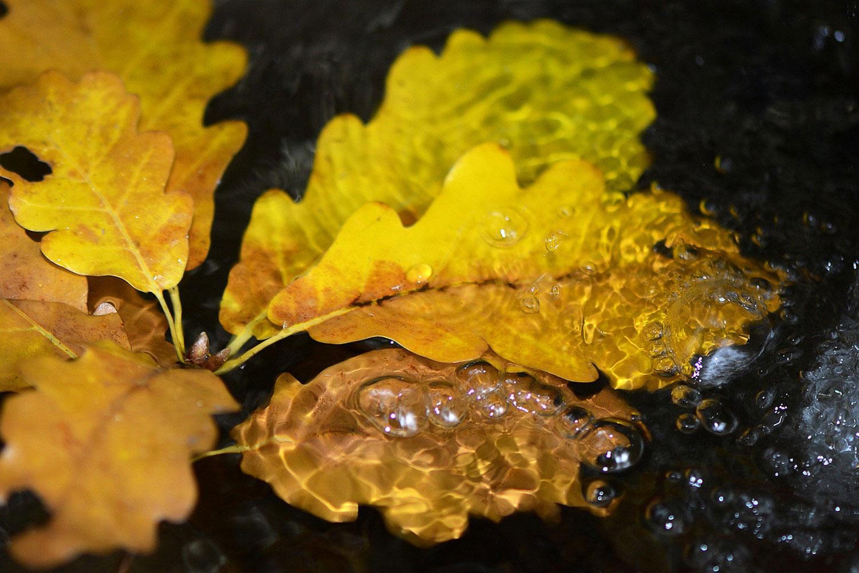 листья дуба в воде, фото