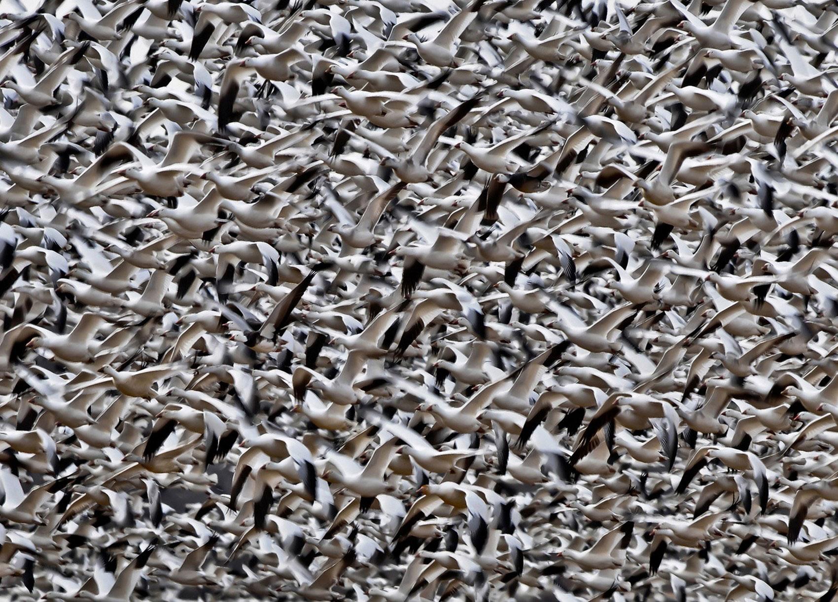 Стая гусей, фото