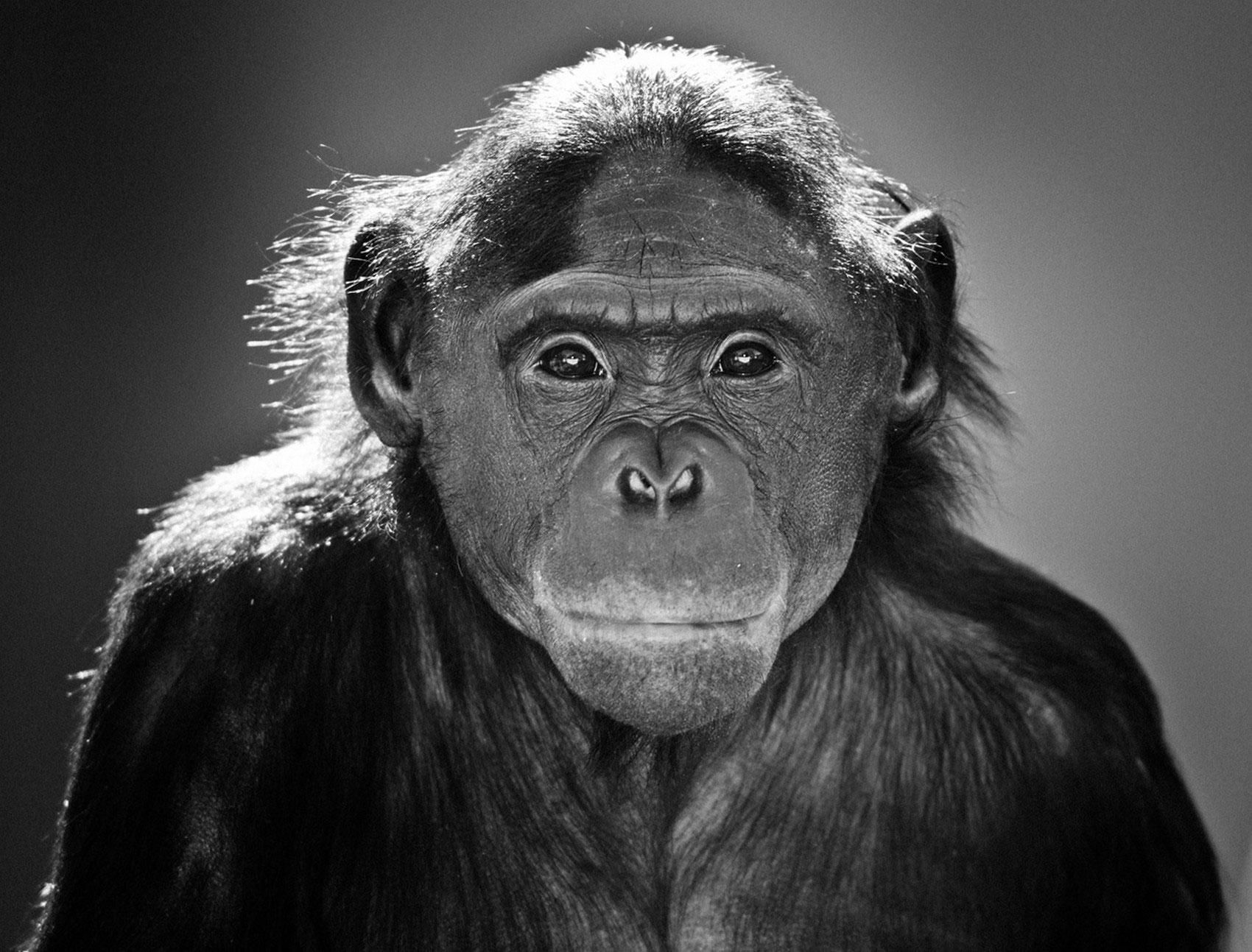 карликовый шимпанзе, фото