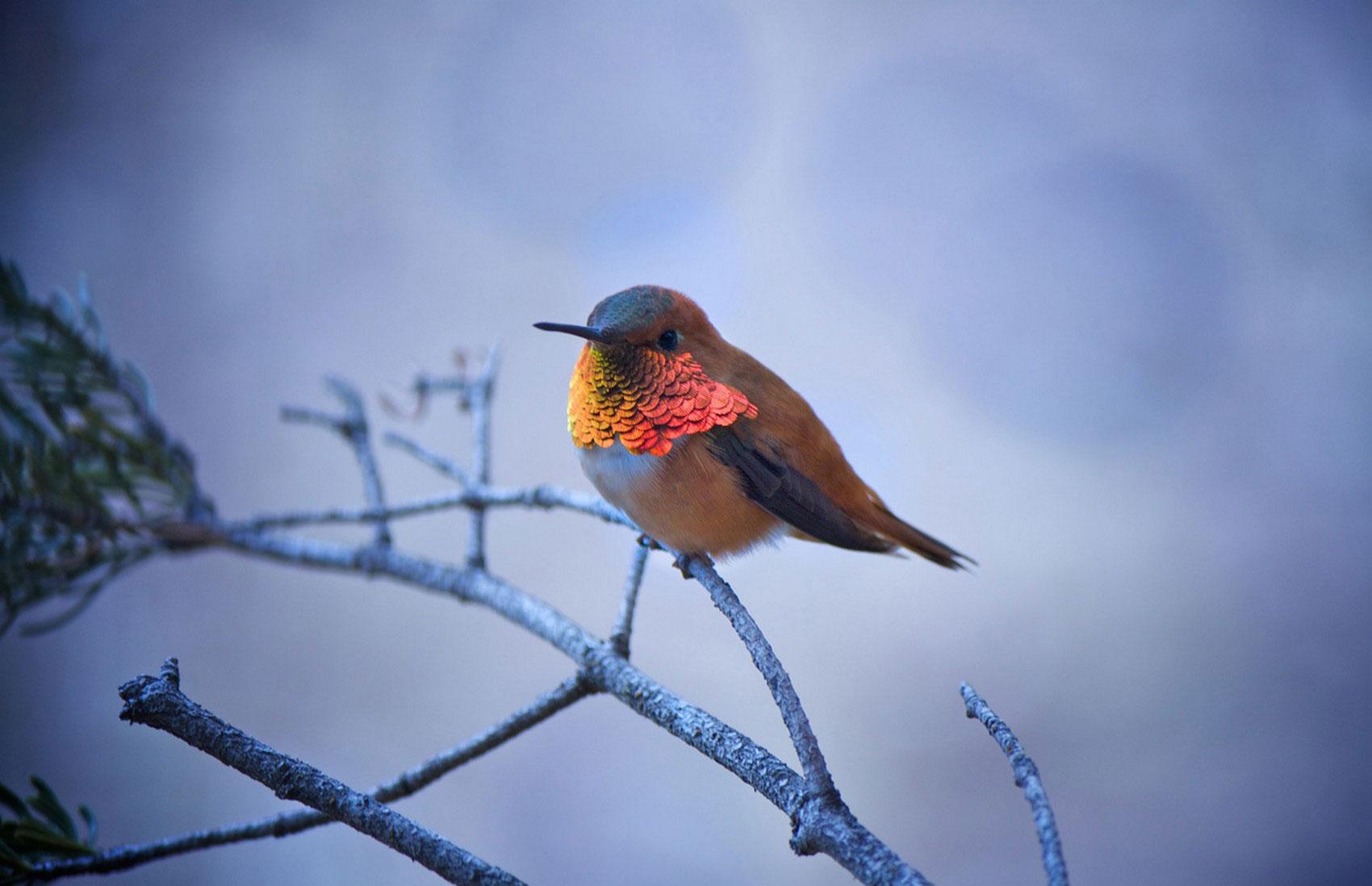 колибри на ветке, фото