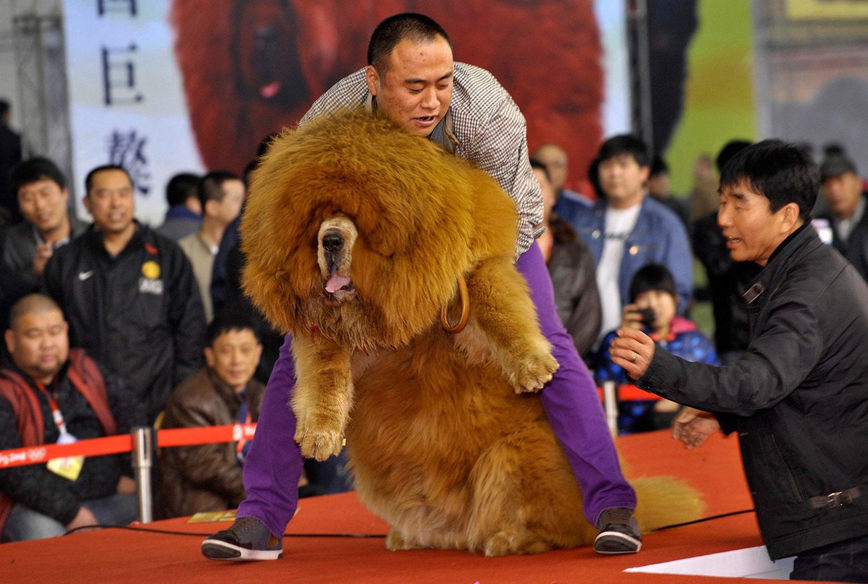 Тибетский мастиф, фото