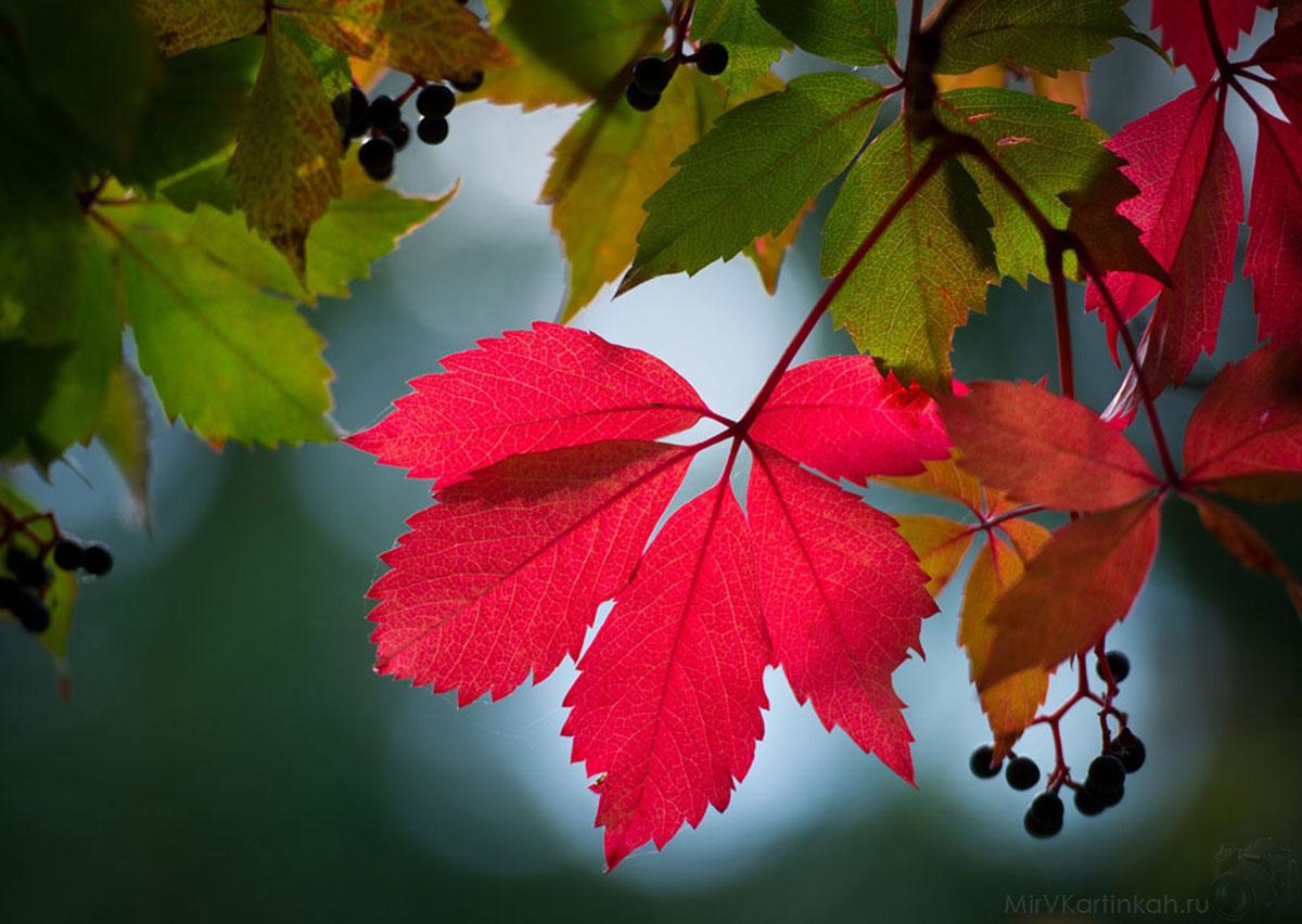 лист дикого винограда