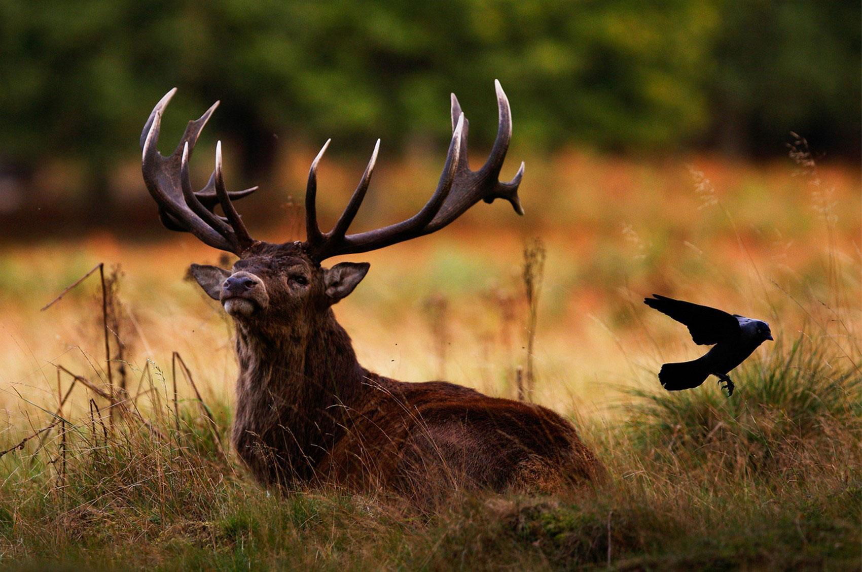 олень с птицей, фото