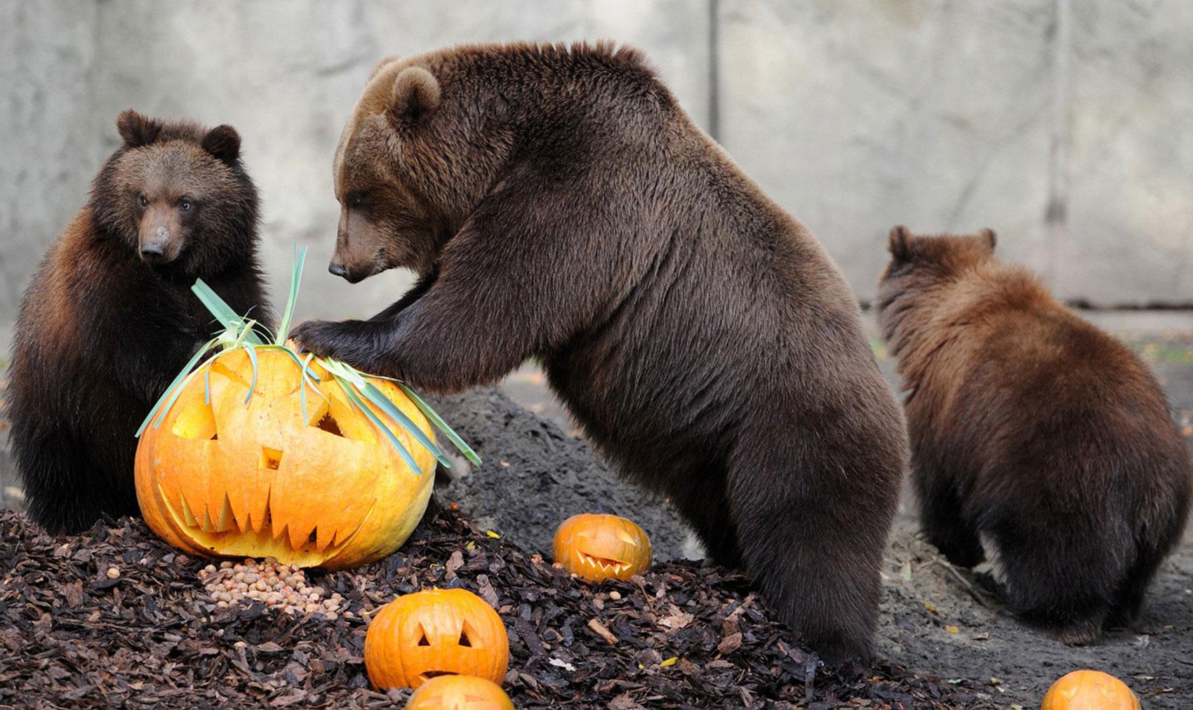 медведи с тыквами