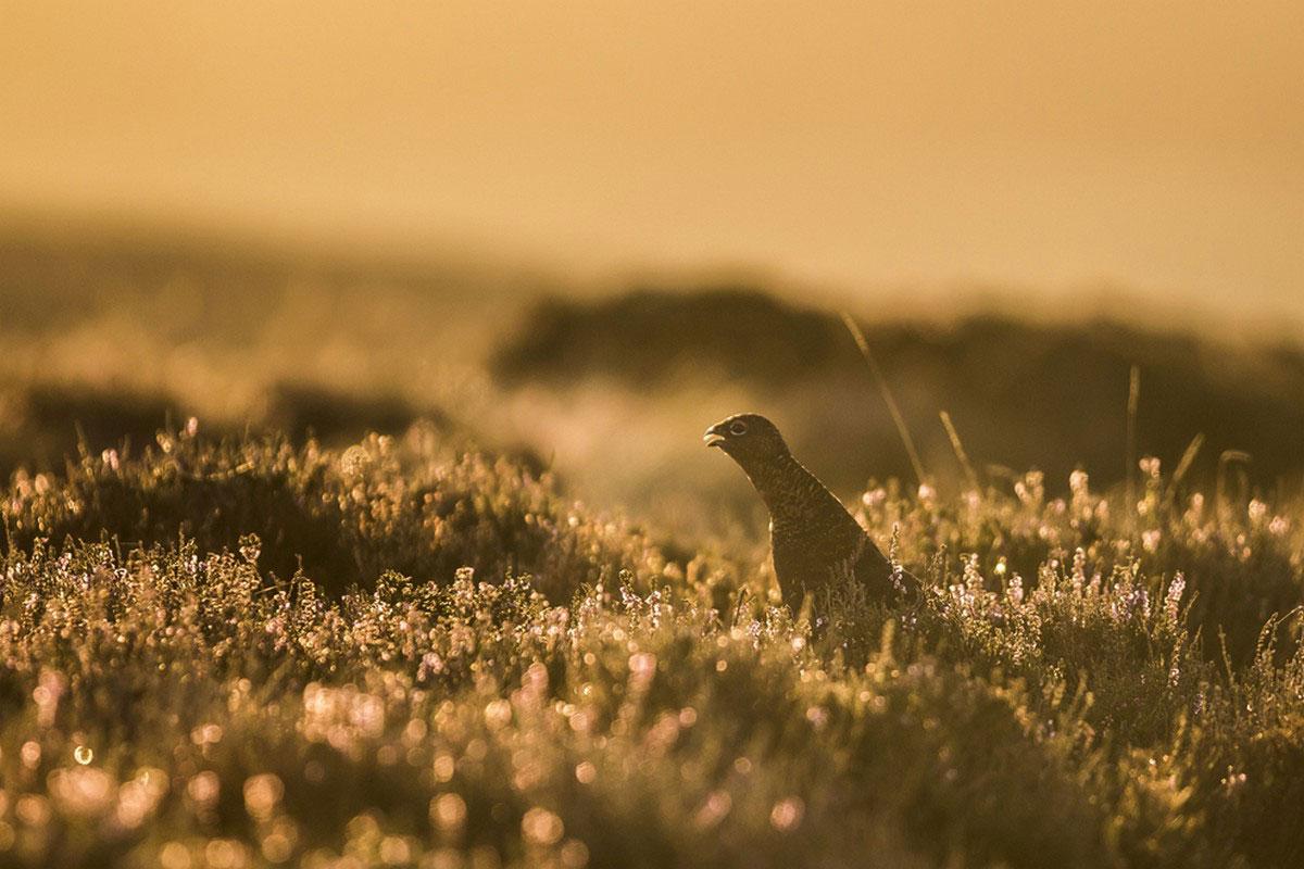 куропатка в траве
