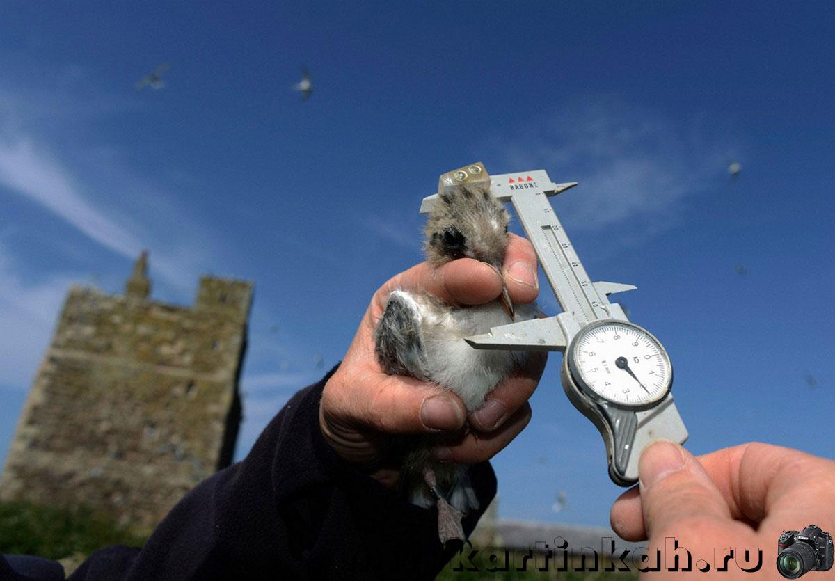 Измерение птенца