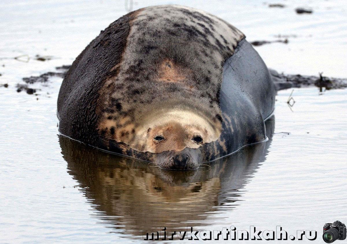 тюлень в луже