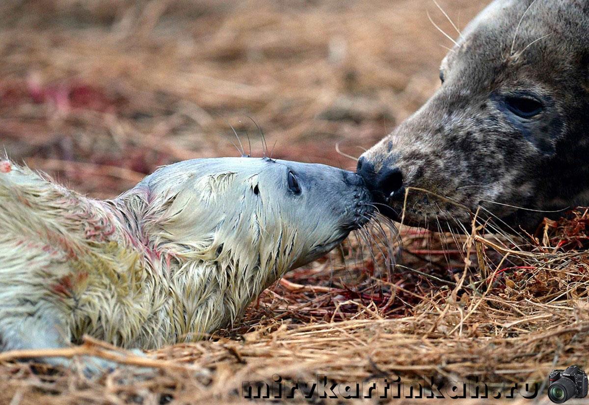 самка тюленя с детенышем