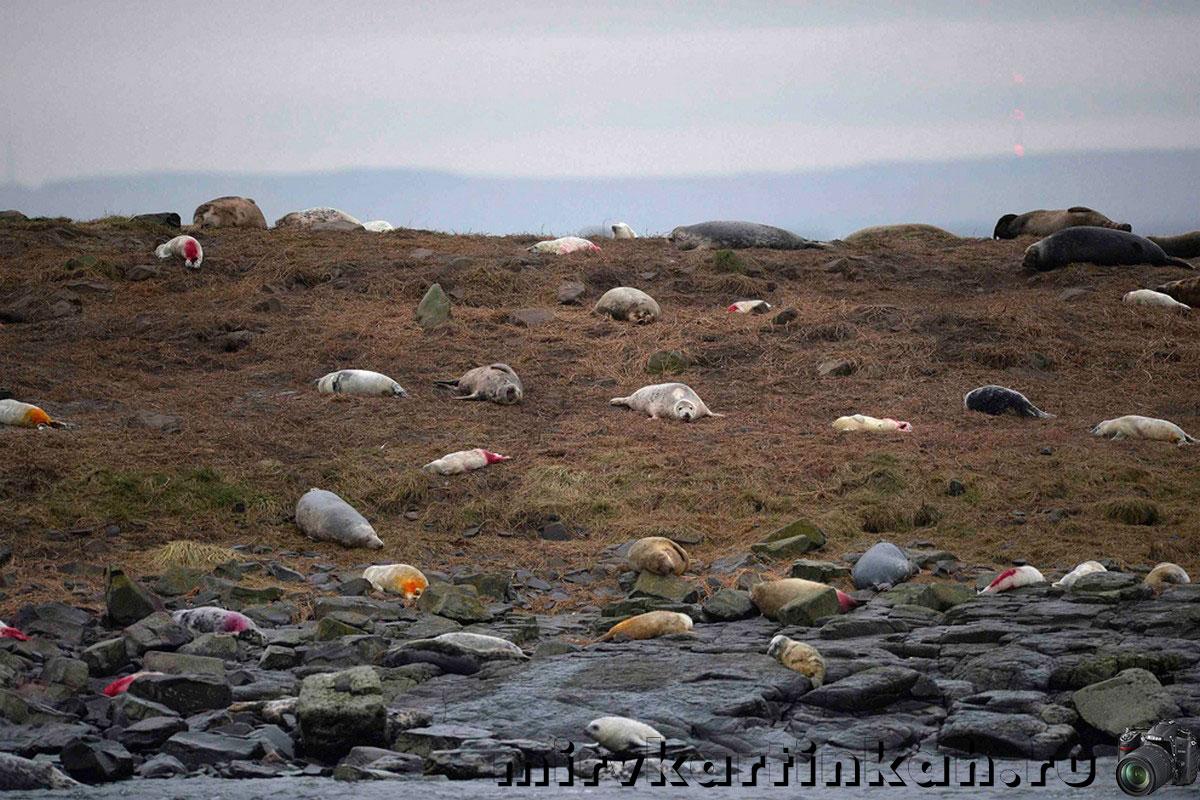 лежбище тюленей