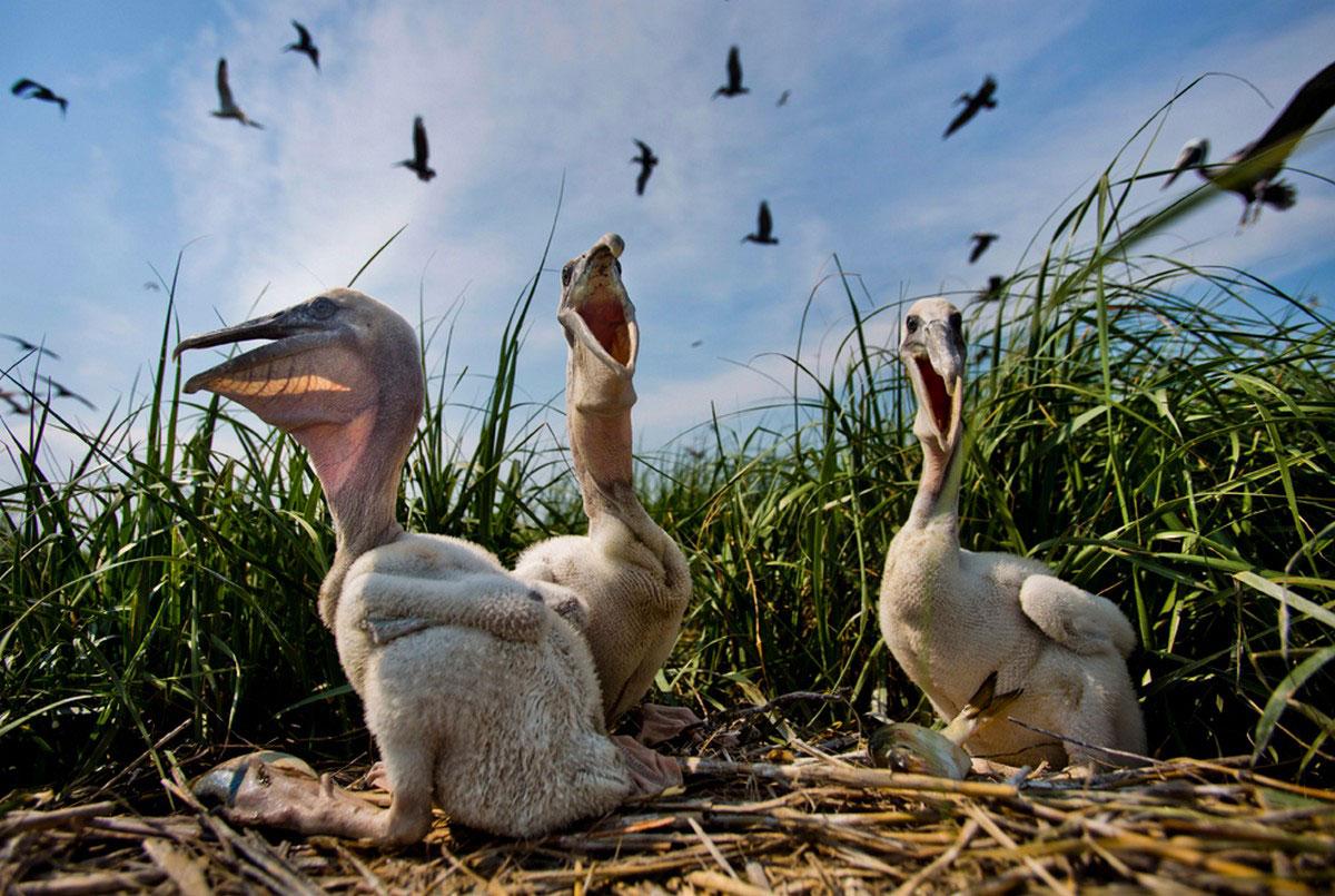 птенцы пеликана