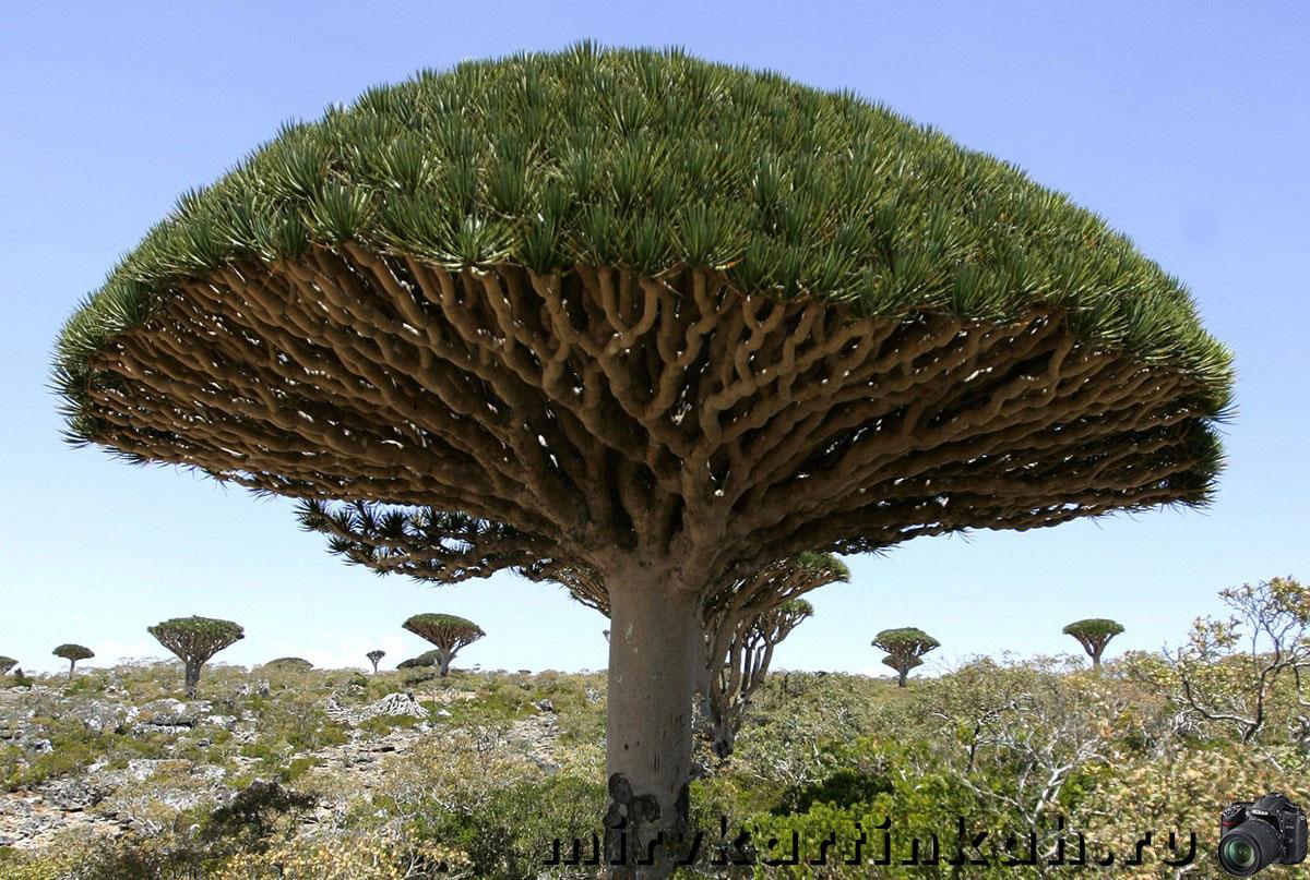 деревья Dragon's Blood Tree