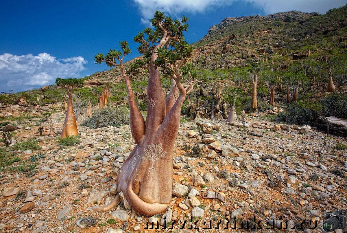 толстые деревья