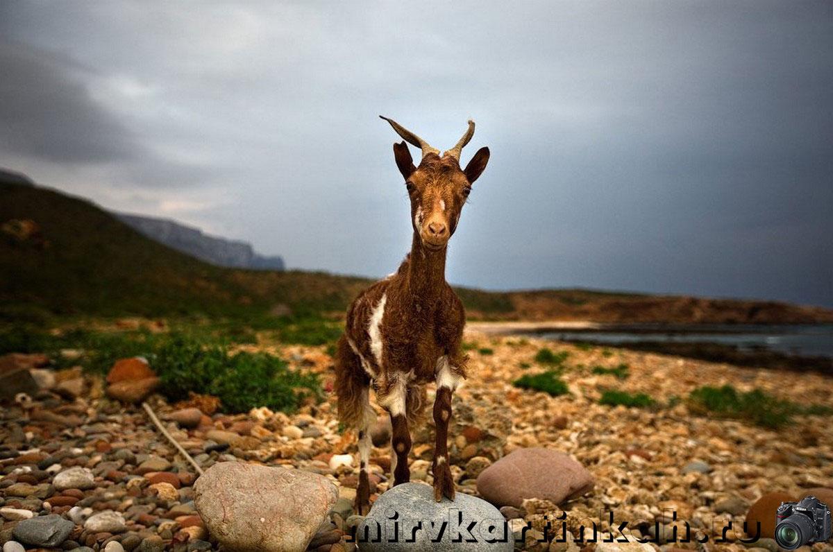 коза на пляже