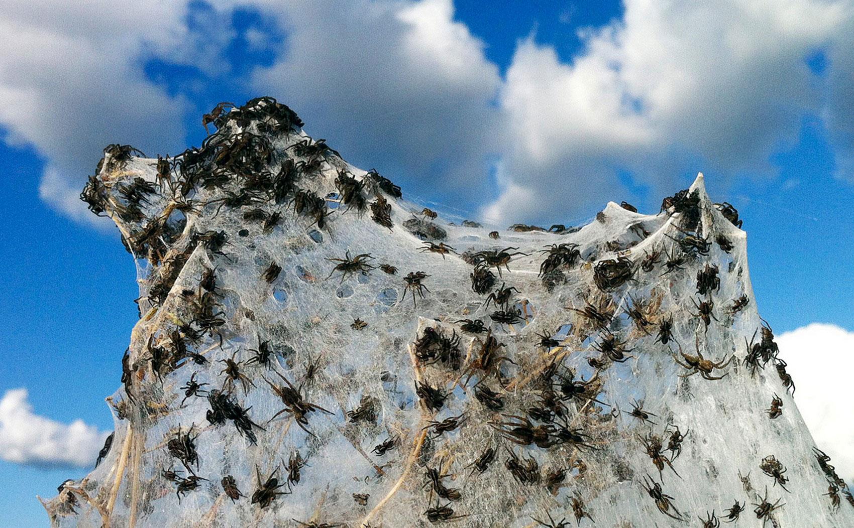 Многочисленные колонии пауков, фото