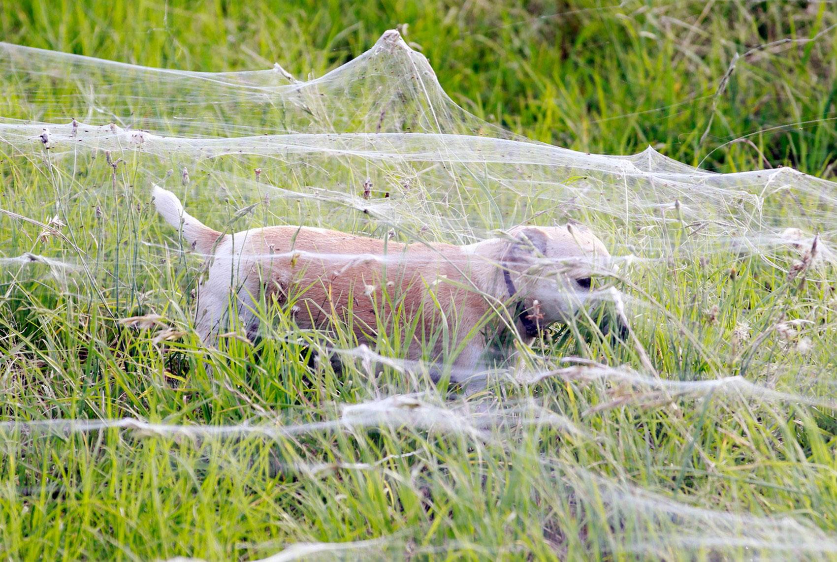 собака бегает по лугу окутанному паутиной, фото