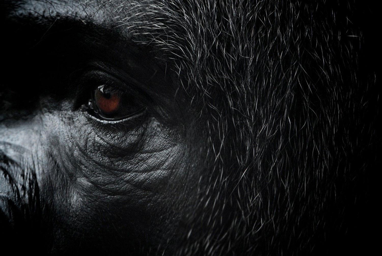глаза гориллы