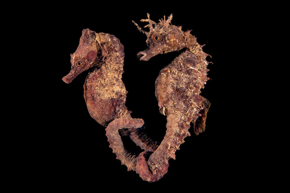 пара морских коньков