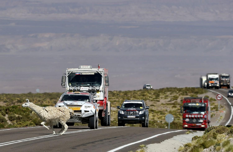 животное пересекает дорогу спортсменам, фото Дакар