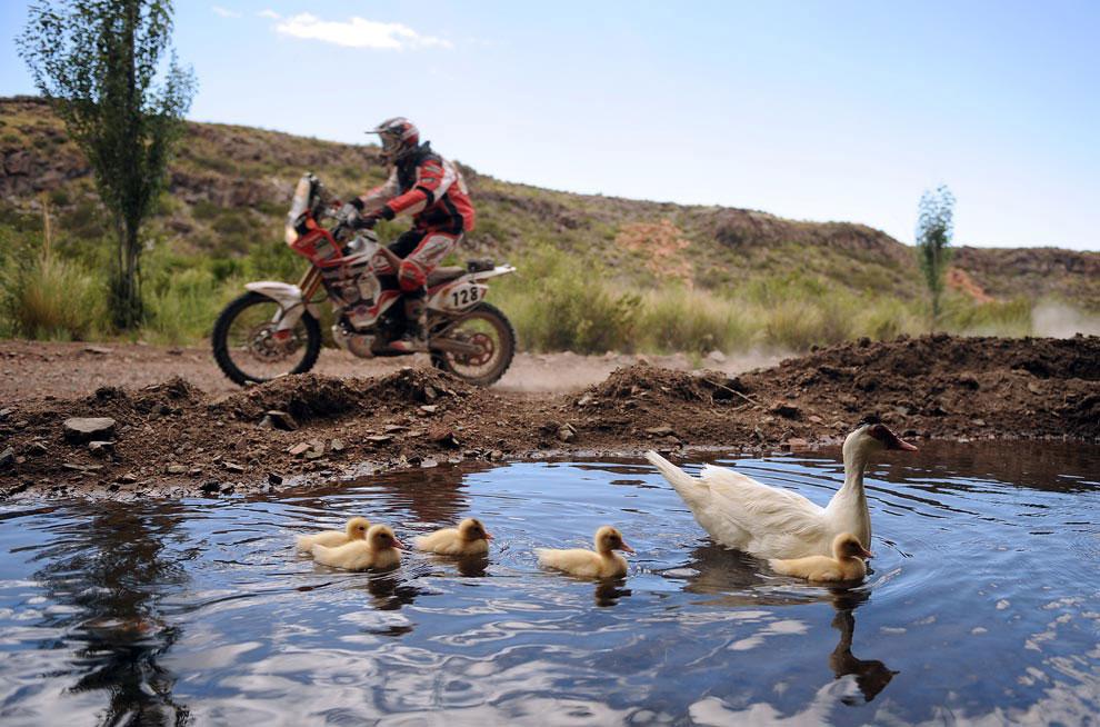 мотоциклист проносится мимо утки с утятами, фото с ралли Дакар