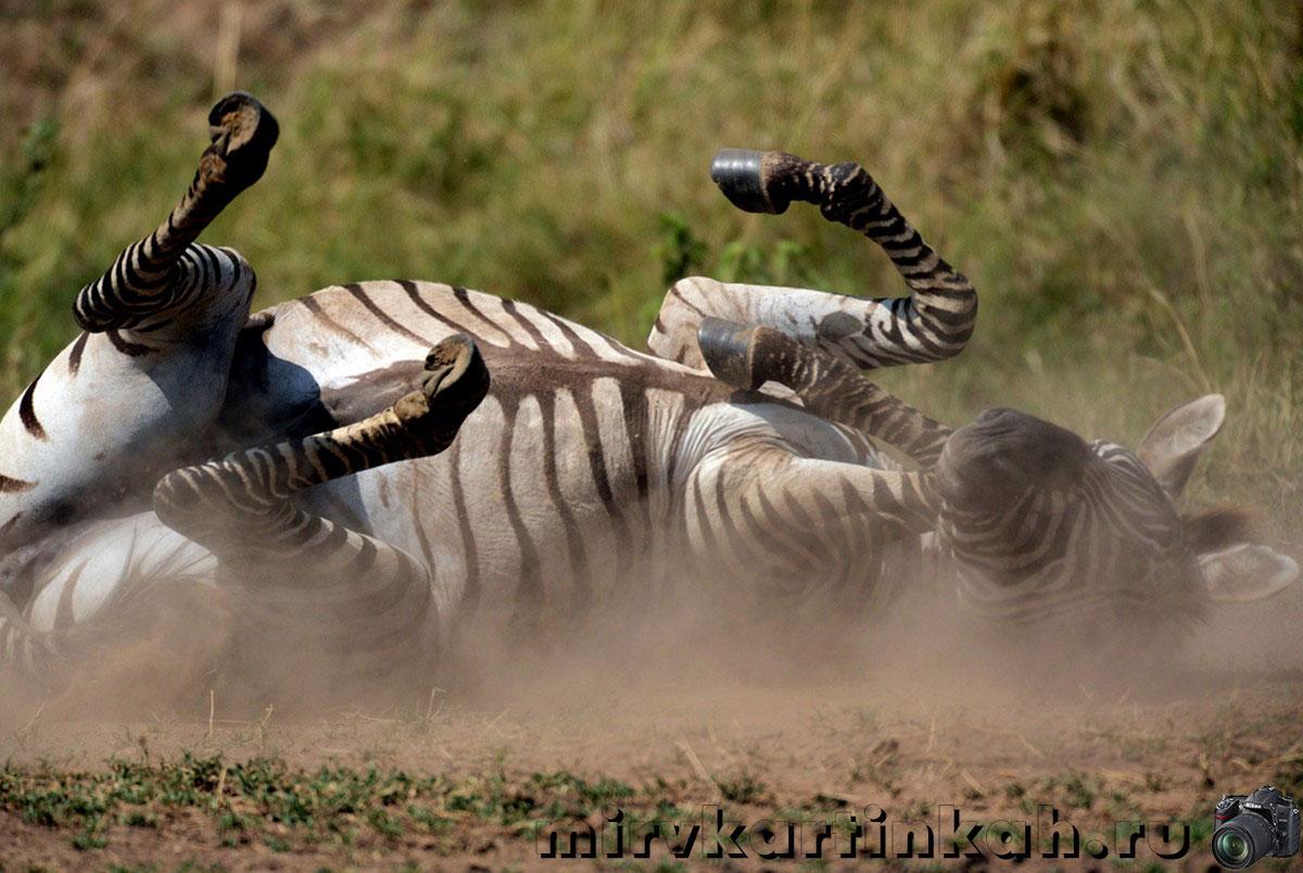 Зебра валяется в пыли