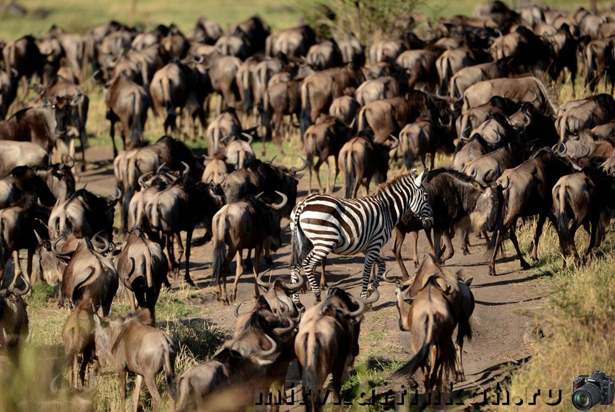 Антилопы гну и зебра
