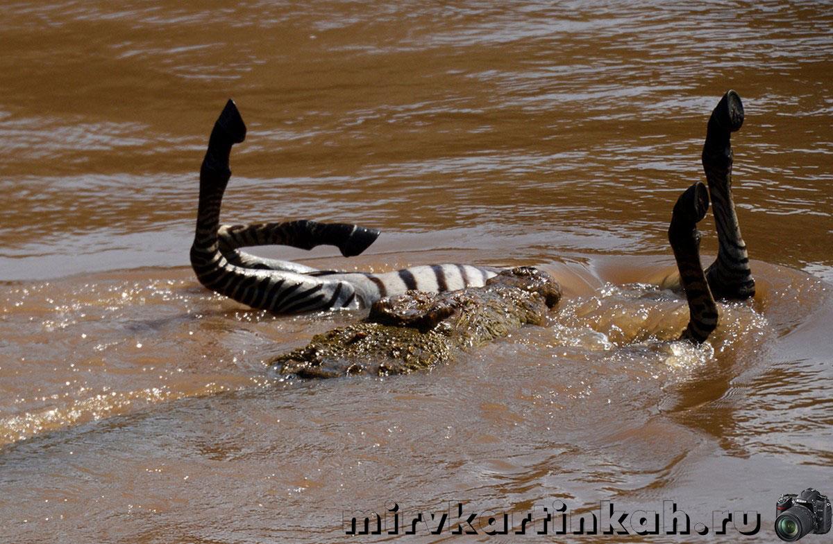 нильский крокодил на охоте