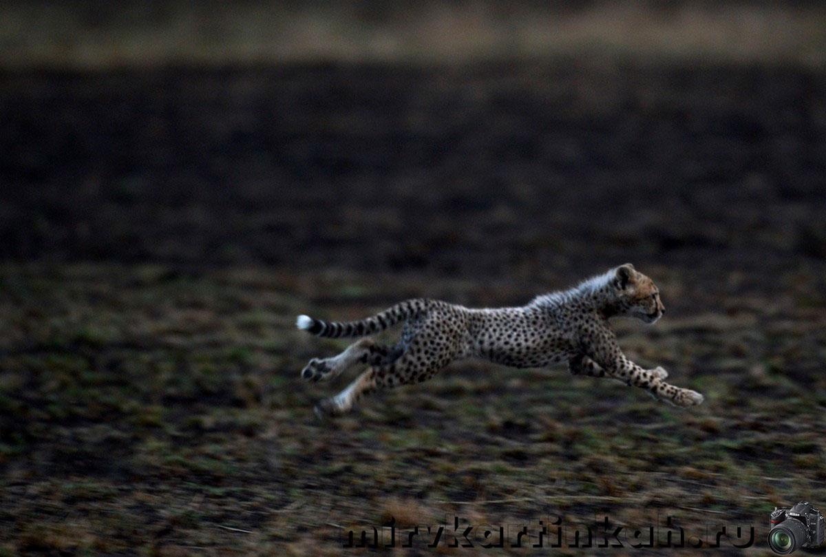 Детеныш гепарда