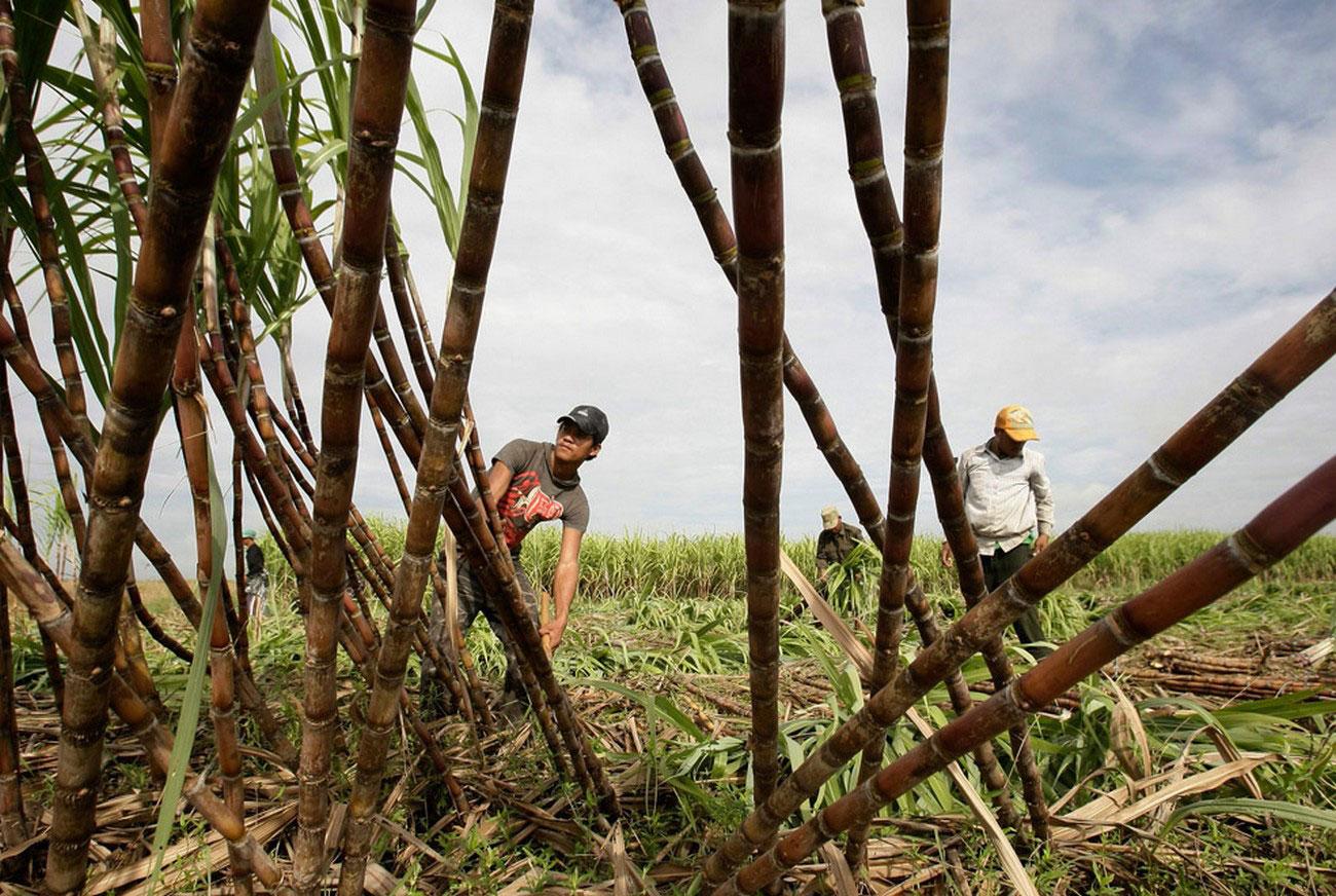 срезание сахарного тростника