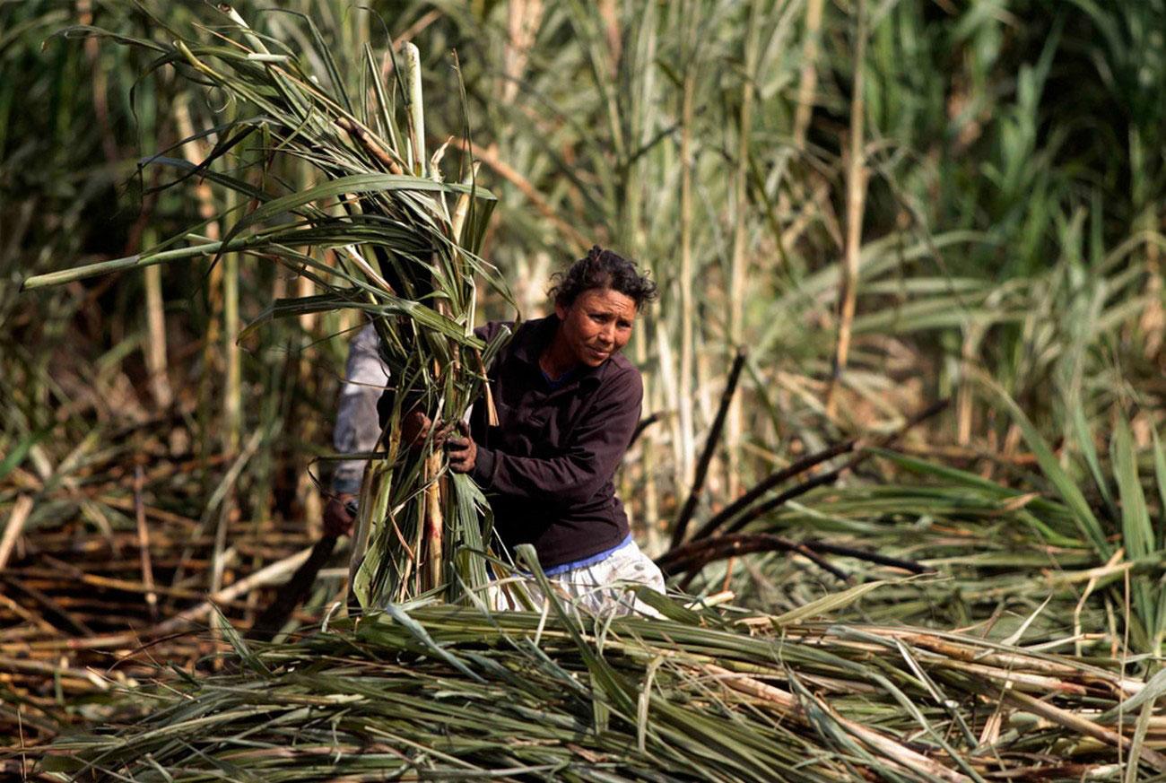 Женщина срезает сахарный тростник