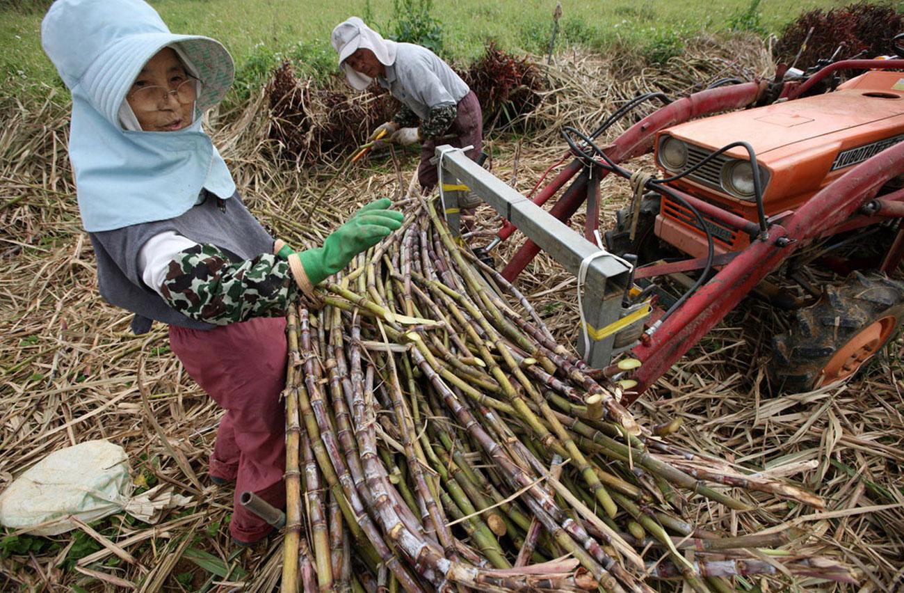 Уборка сахарного тростника в поле