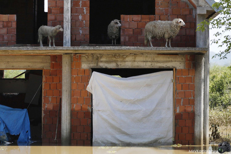 Овцы прячутся от воды