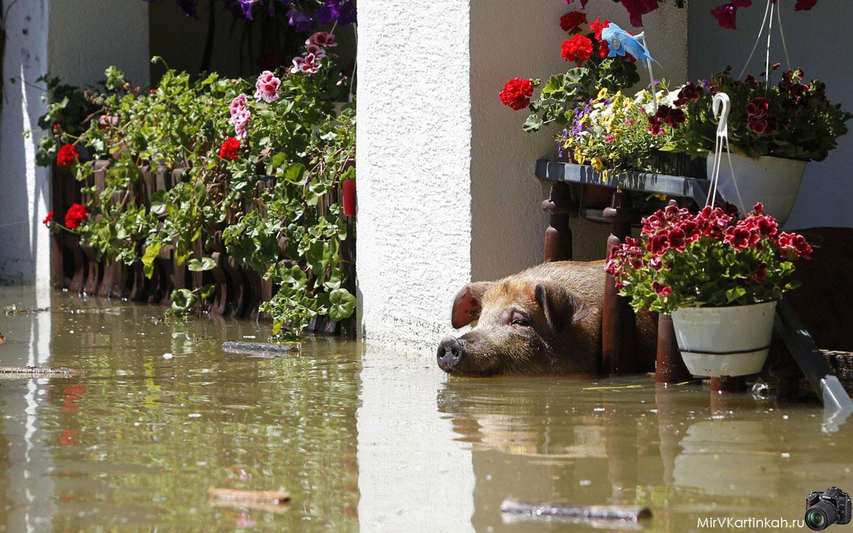 свинья в паводковых водах